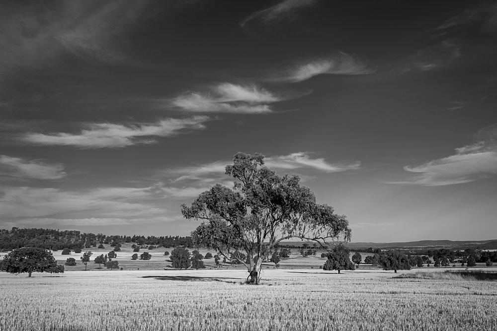 Tree and Farmland. Parkes, NSW.