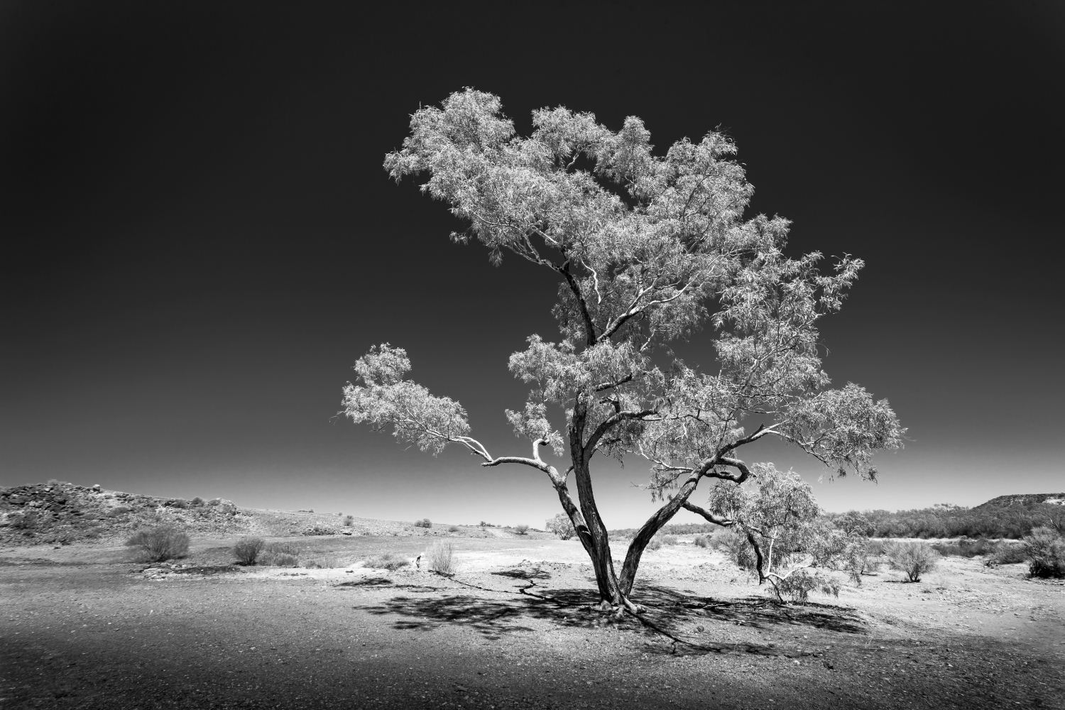 Lone Desert Tree, Marree, Oodnadatta Track, South Australia